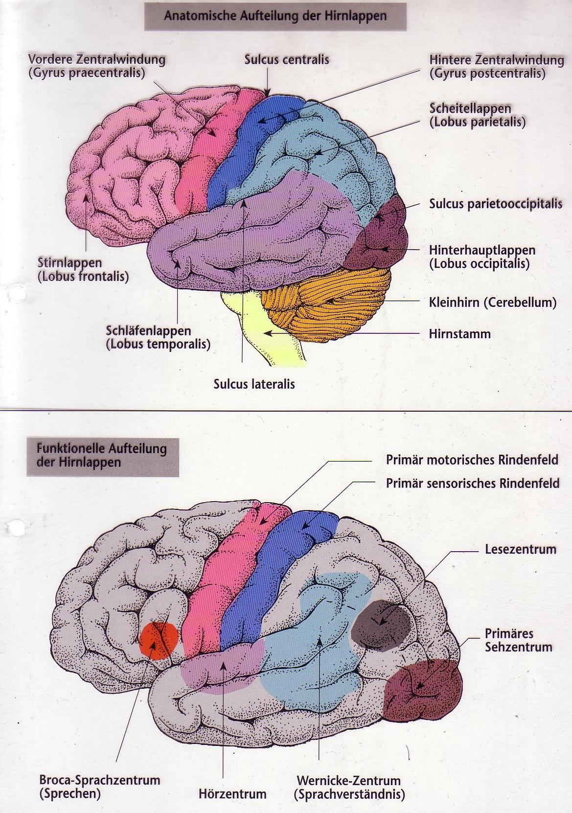 Fantastisch Gehirn Funktionelle Anatomie Zeitgenössisch - Anatomie ...